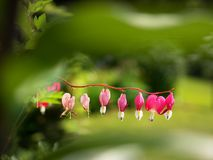 Fuchsia in bloom, selective focus. Hanging cluster of the fuchsia plant. In the summer stock images