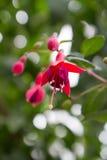 Fuchsia blooming Stock Photography