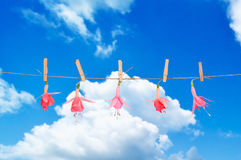 Fuchsia Blooms. Fuchsia heads pegged on washing line against blue summer sky stock image