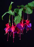 Fuchsia blooms. Multiple fuchsia blooms with black background royalty free stock photography
