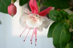 Fuchsia Blossom. Single open pink and white fuchsia blossom with one unopened bud.  Also known as Lady's eardrops Stock Images