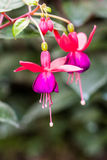 Fuchsia blossom on tree Stock Image