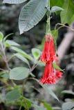 Fuchsia boliviana Стоковое Фото