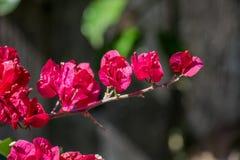 Fuchsia Bougainvillea Blossoms Stock Images