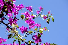 Fuchsia Bougainvillea bush. With clear blue day sky background. royalty free stock image