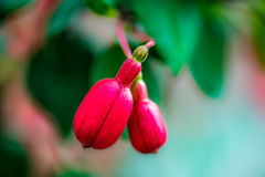 Fuchsia Buds. Made For Each Other Stock Photography