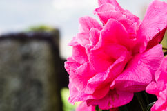 Fuchsia Camellia Royalty Free Stock Images
