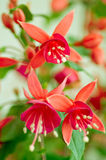 Fuchsia close up Stock Image