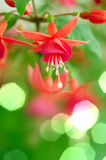 Fuchsia close up Royalty Free Stock Photos