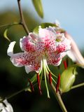 Fuchsia close-up Royalty Free Stock Image