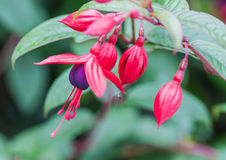 Fuchsia Collection. A close-up of a collection of fuchsia blooms stock photography