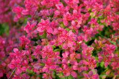 Fuchsia color bush. Nice and beautiful bright fuchsia bush royalty free stock photo