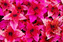 Fuchsia color Coleus Royalty Free Stock Images