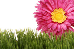 Fuchsia color gerbera daisy flower on green grass. Beautiful fuchsia color gerbera daisy flower peeking behind green grass - isolated on white background with royalty free stock photography