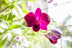 Fuchsia color orchid flower in bloom. Beautiful fuchsia color orchid in the greenhouse Royalty Free Stock Photos