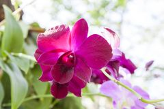 Fuchsia color orchid flower in bloom. Stock Photos