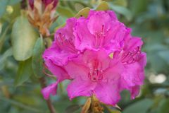 Fuchsia color rhododendron Claudine flowers macro selective foc. Fuchsia color rhododendron Claudine flowers in bloom macro selective focus stock photography
