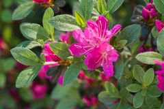 Fuchsia color rhododendron Janny flowers macro selective focus. Fuchsia color rhododendron Janny flowers in bloom macro selective focus royalty free stock images