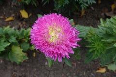 Fuchsia colored flowerhead of china aster. Fuchsia colored flower head of china aster Stock Images