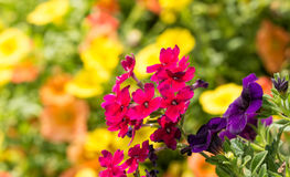 Fuchsia colored Verbena flowers against bright yellow and orange blooms. On background royalty free stock photography