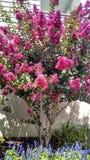 Crepe Myrtle Pink in Wildwood NJ. Fuchsia Crepe Myrtle Tree in Wildwood NJ Flowering Spring Bloom royalty free stock images