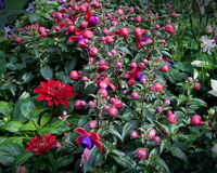 Fuchsia and dahlia flowers, lush green leaves in the garden Royalty Free Stock Photography