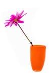 Fuchsia daisy Stock Photography