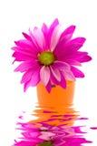 Fuchsia daisy Stock Images