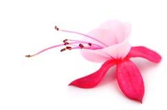 Fuchsia de floraison images libres de droits