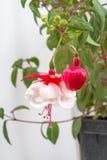 Fuchsia de floraison Photos stock