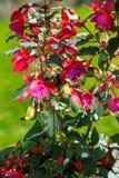 Fuchsia de floraison dans le jardin un jour ensoleillé d'été image stock