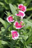 Fuchsia Dianthus chinensis flower. Stock Images