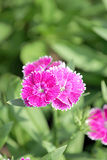 Fuchsia Dianthus flower. Stock Photography