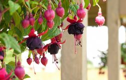 Fuchsia in droplets Stock Photography