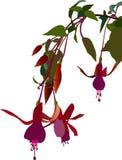 Fuchsia flower. Fuchsia triphylla flore coccinea, vector graphics vector illustration