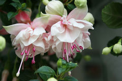 Fuchsia flower Stock Photography