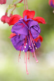Fuchsia flower Royalty Free Stock Photography