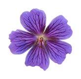 Fuchsia flower. Studio Shot of Fuchsia Colored Cosmos Flower Isolated on White Background Royalty Free Stock Image
