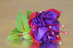 Fuchsia Flower. A purple and red fuchsia flower reflected in metal foil royalty free stock images