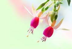 Fuchsia Flower Stock Images