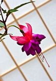 Fuchsia flower in bloom Royalty Free Stock Images