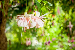 Fuchsia flower. Blooms of pink fuchsia flower royalty free stock images