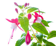 Fuchsia flower with bud isolated on white,  background Royalty Free Stock Photography