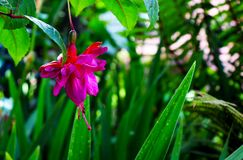 Fuchsia flower. Among the bushes royalty free stock image