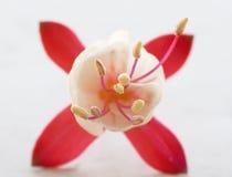 Fuchsia flower Stock Photography