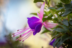 Fuchsia flower closeup stock photo