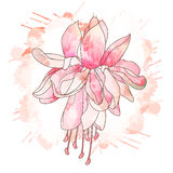 Fuchsia flower drawing Stock Photo