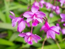 Fuchsia flower in full bloom showing its bright purple color. Fuchsia flower in full bloom showing its bright purple color stock images