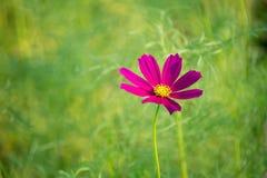 Fuchsia flower on green background. Beautiful  flower grow in green garden Royalty Free Stock Photos