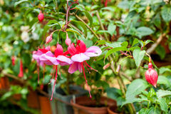 Fuchsia flower. Pink and puprple blooms fuchsia flower royalty free stock photo